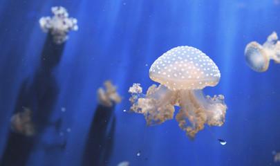 Как содержать аквариумных медуз