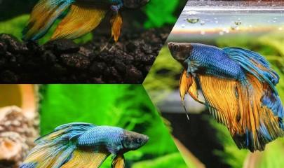 Рыба-петушок: красавец, боец и мученик