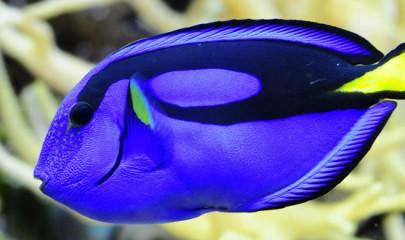 Описание и содержание голубой рыбы хирург