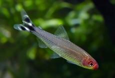 Родостомусы — подвижные рыбки с «тонкой душевной организацией»