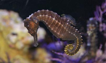 Содержание морских коньков в аквариуме