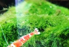 Креветки красный кристалл. Молодой популярный вид для опытных аквариумистов