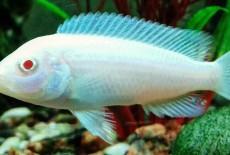 Снежный принц — находка для любителей рыб-альбиносов