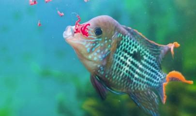 Живой корм для рыб: питание, как в дикой природе