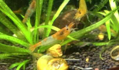 Креветки Неокаридины – яркое украшение аквариума