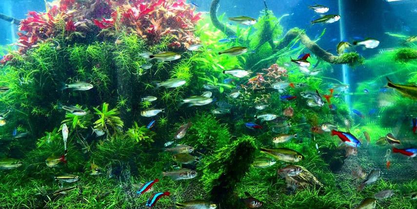 Неоны - неприхотливые тропические рыбки с мирным характером