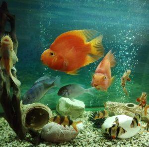 боция в аквариуме