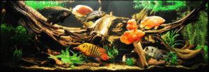 Цихлазома чернополосая: маленькая рыбка с большим желанием жить