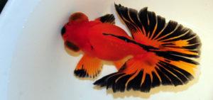 Бабочка золотая рыбка