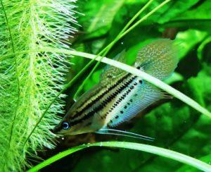 Trichopsis vittata