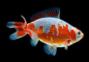 золотая рыбка Джикин