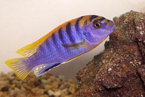 Labidochromis sp. «Hongi»