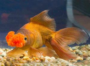 Помпон золотая рыбка