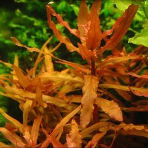 красные растения