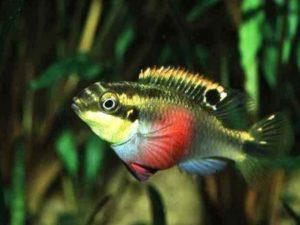Pelvicachromis aureocephalus