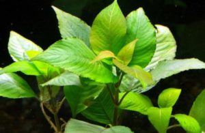Лимонник – естественный аквариумный биофильтр