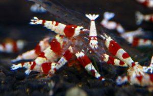 Креветки красный кристалл SSSS