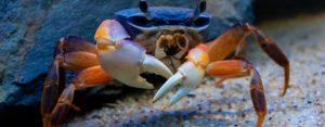 аквариумные крабы