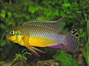 Pelvicachromis kribensis