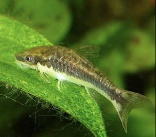 Otocinclus mangaba <p> C зазубренными грудными плавниками и бледным брюшком.