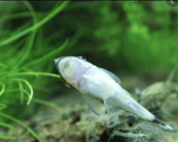 Otocinclus juruenae <p> C сосредоточенными на спинке возле хвоста поперечными полосками.