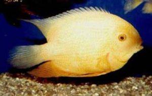 альбиносы Северум