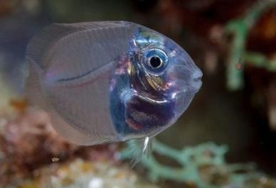 Прозрачная рыбка хирург