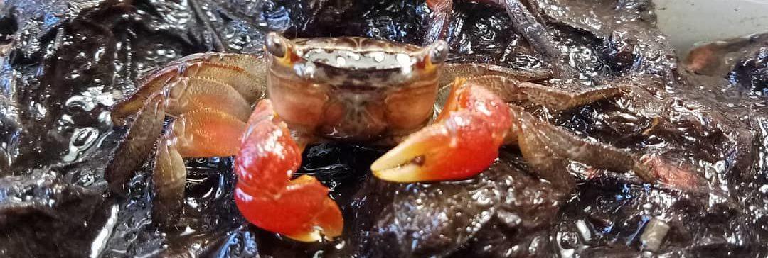 Красный мангровый краб Pseudosesarma moeshi
