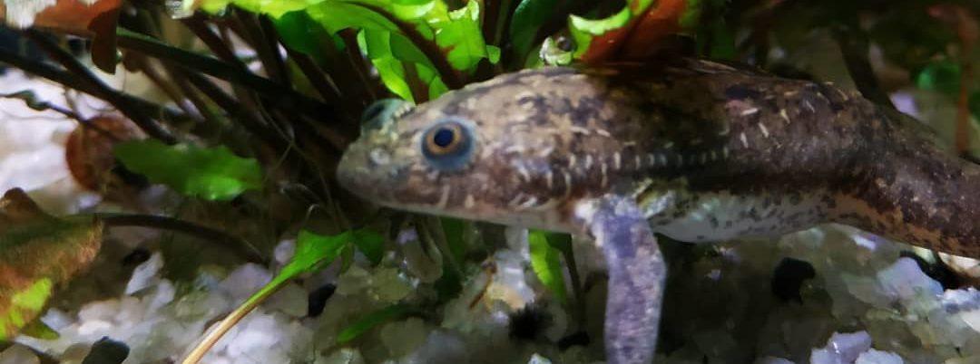аквариумные лягушки размножение