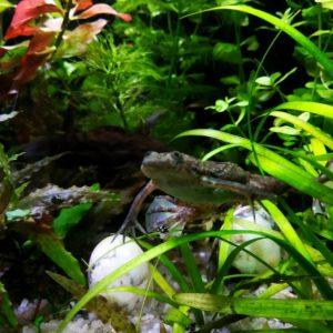 Карликовые лягушки