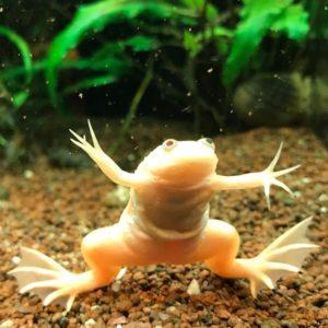 Ксенопус (шпорцевая лягушка) розовая