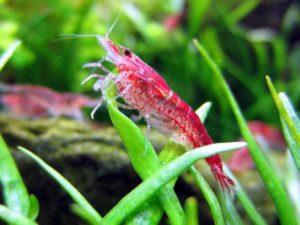 Вишенка аквариумные креветки неокардины Neocaridina