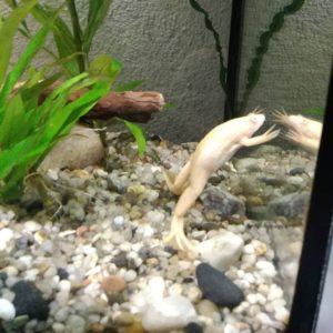 белая лягушка в аквариуме сколько живет