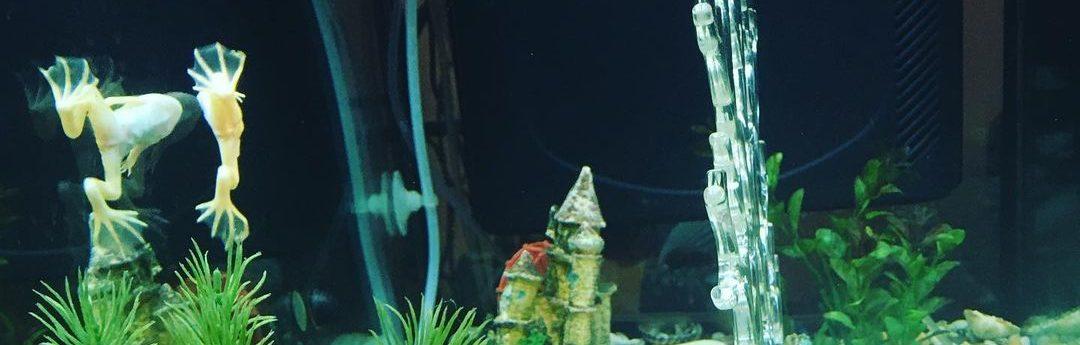 Содержание аквариумных лягушек