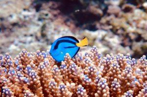 синий хирург рыба