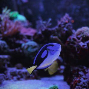 Рыба-хирург в аквариуме