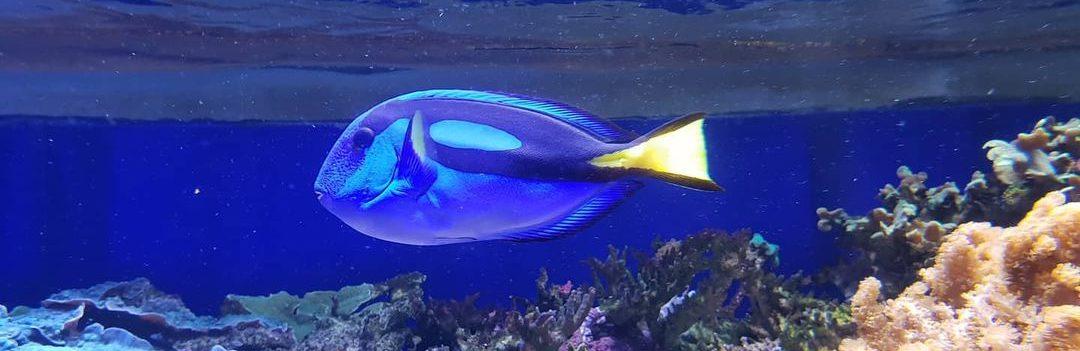 хирурговые рыбы
