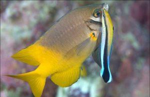 Рыбка чистильщик губан и смена пола