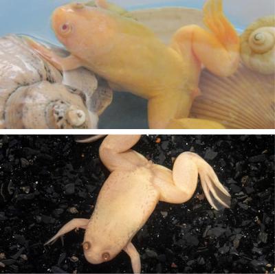 Самки шпорцевой лягушки