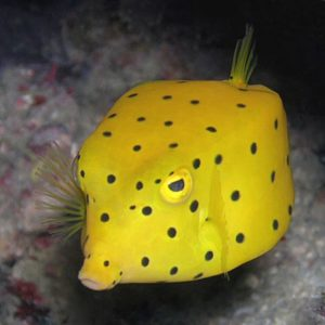 Рыба-коробка
