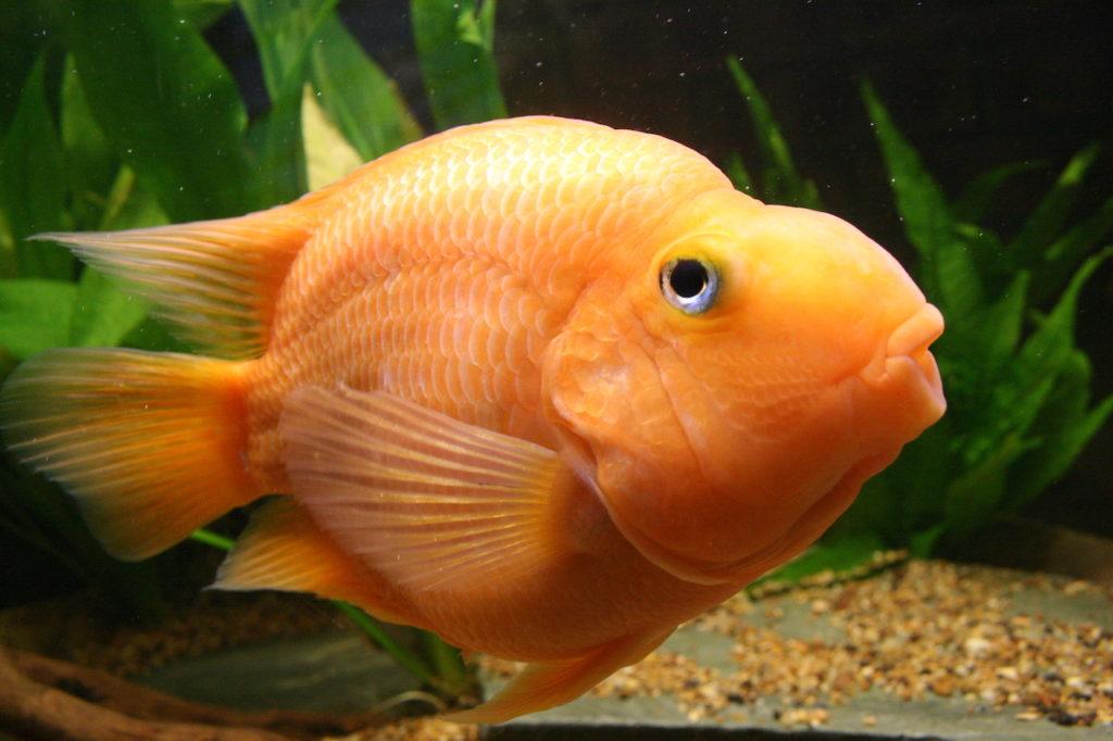 Рыбка попугай