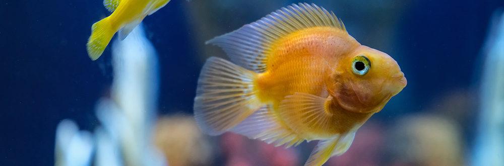 какие аквариумные рыбы меняют пол