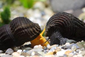 Тиломелания жители аквариума