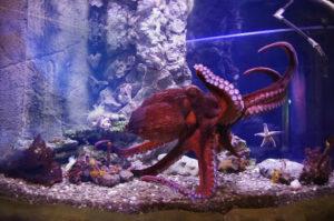 Осьминоги необычные аквариумные обитатели