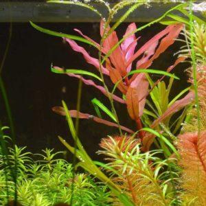 Растение грацилис