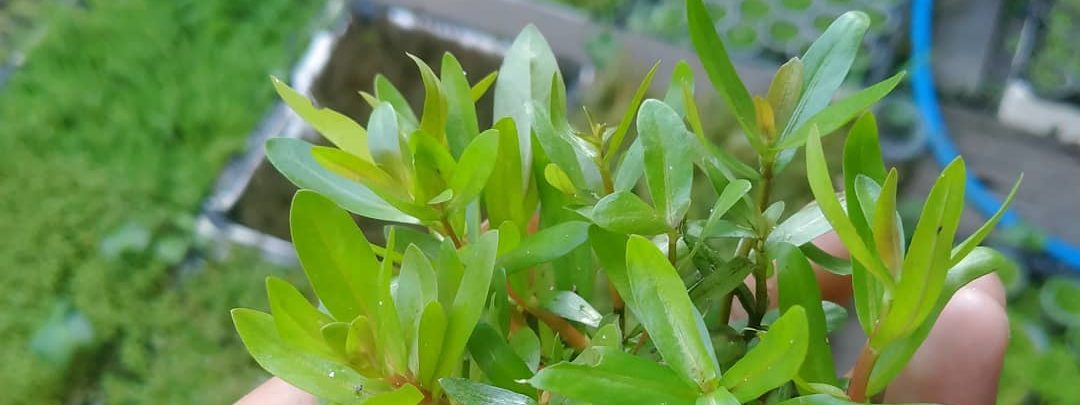 ростки аммания грацилис