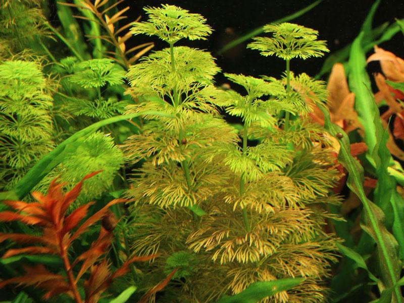 Аквариумное растение Лимнофила Акватика