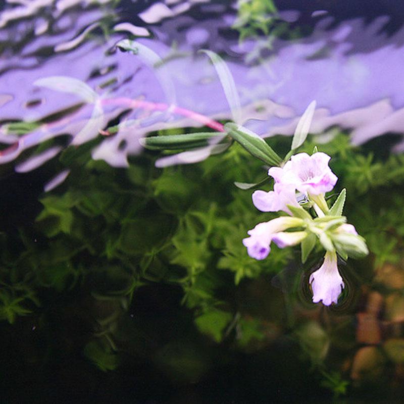 Цветок амбулии