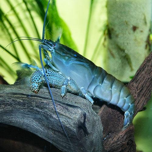 Голубая креветка фильтратор