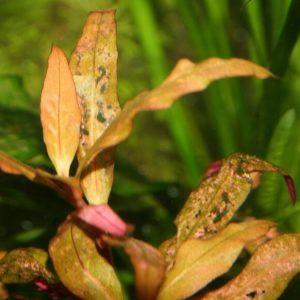 аквариумных растения болеют